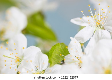 Branch of cherry blossoms on blue background
