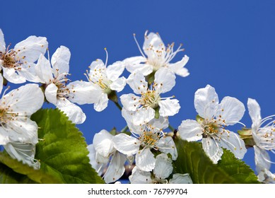 Branch of cherry blossoms on a blue spring sky