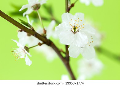 Branch of cherry blossoms on green background