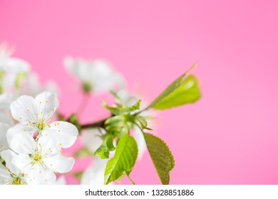 Branch of cherry blossoms on pink background