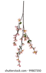 Branch of cherry blossoms on white background