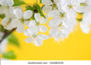 Branch of cherry blossoms on yellow background