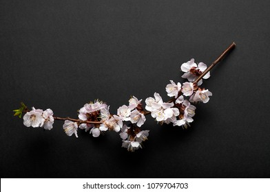 A branch of cherry blossoms, sakura on a black background with a white frame. Exquisite Japanese minimalism. The beauty of spring nature.