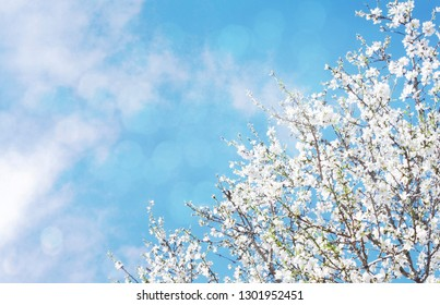 A branch of cherry blossoms. Sunlight through the branches. Spring background.