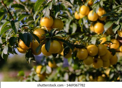 A branch of a cherry plum tree is strewn with yellow ripe fruits of cherry plum, close-up. Ripe cherry plum on a branch.