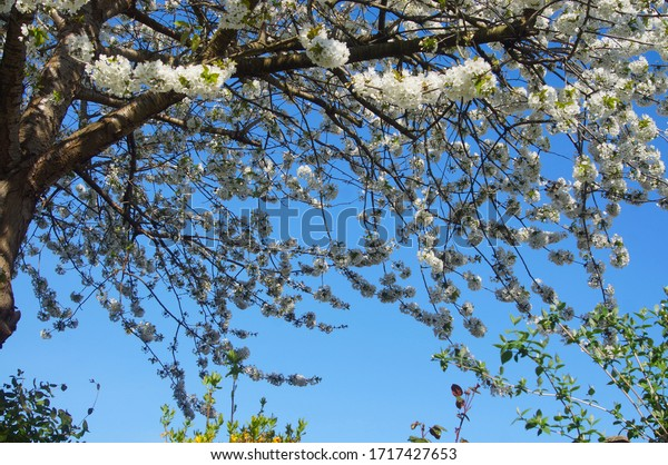 branch-cherry-tree-bloom-blue-600w-17174