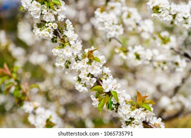 A branch of cherry tree full of flowers