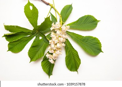 Branch of chestnut on a white background with green leaves and flowers of chestnut that just bloomed in spring. Isolated