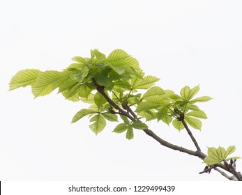 branch of chestnut with young green foliage on a white background