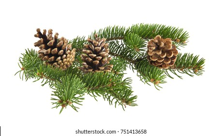 branch of Christmas tree with cones isolated on white background close-up