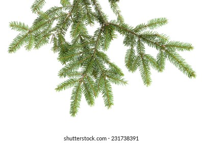 the branch of a Christmas tree isolated on white background without decoration
