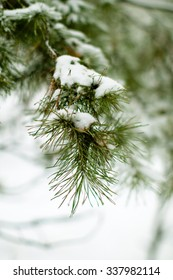 Branch of Christmas tree in the snow