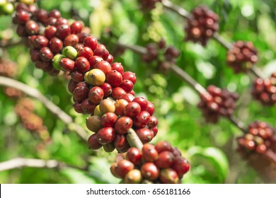 Branch of coffee beans, red berries of coffee