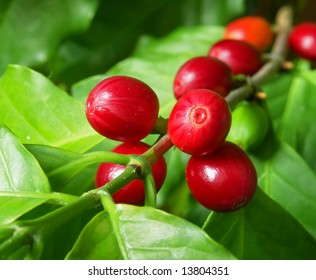 Branch of a coffee tree with ripe fruits