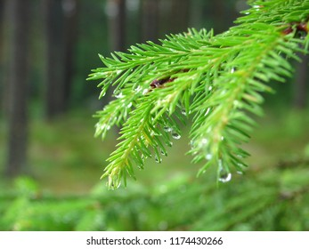 Branch of a coniferous tree with raindrops