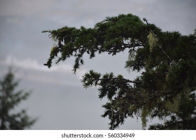 Branch of coniferous tree in rainforest of Alaskan mountains. With blurred ship on a background
