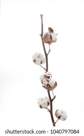 Branch with cotton isolated on white background