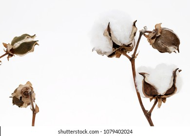 Branch of cotton plant on white background