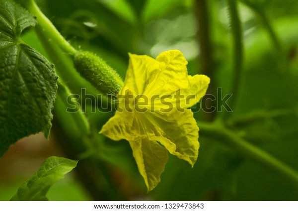branch-cucumber-bush-flower-young-600w-1