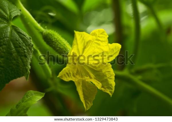 branch-cucumber-bush-flower-young-600w-1