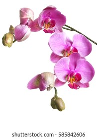 a branch of delicate pink flowers and buds phalaenopsis orchid isolated on white background.