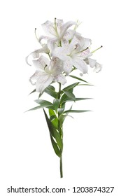 A branch of delicate white lilies with pink specks isolated.