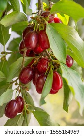 Branch of dogwood tree with many ripe red Houndberries
