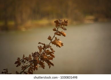 A branch of dried oak leaves