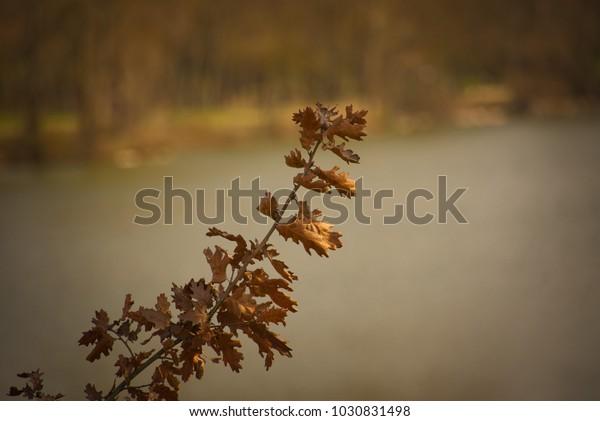 A branch of dried oak leaves