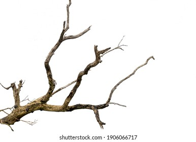 Branch of dry tree isolated with white background
