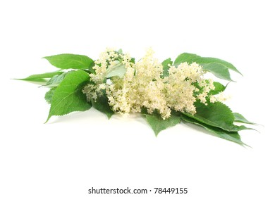 a branch of elder flowers with leaves on white background