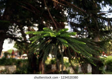 A branch of the evergreen plant Araucaria.