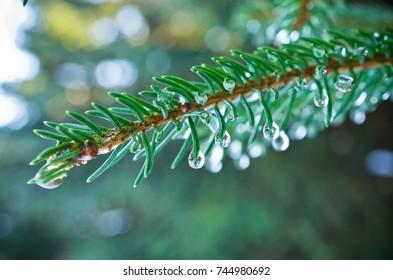 Branch of evergreen spruce