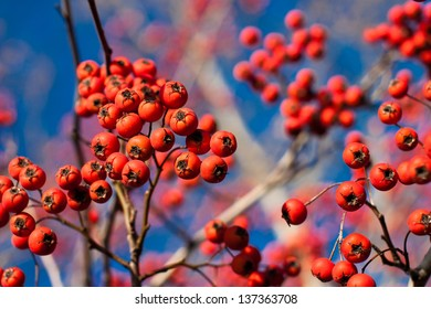 Branch with fall or winter red berries on a bold blue sky