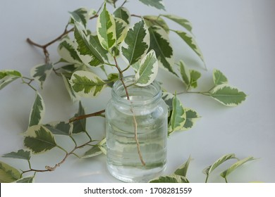 Branch of ficus benjamina in jar with water after cutting it to make stalk to root it and plant