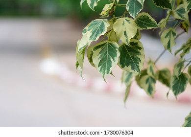 Branch of ficus benjamina with variegated leaves. Motley background of green leaves with white spots on the branches of the ficus Benjamina. in Thailand this flower is called the white banyan