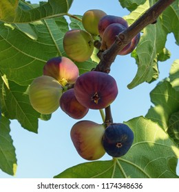 Branch of a fig tree (Ficus carica) with colorful fruits  in various stages of ripening