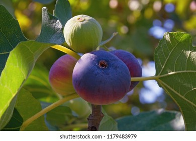 Branch of  fig tree ( Ficus carica ) with bright colorful fruits  in various stages of ripening