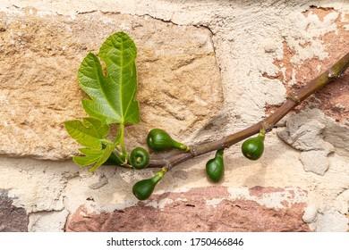 Feigenbaum mit Früchten
