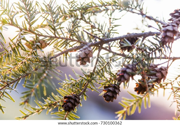 The branch of a fir tree lit by the setting sun with pinecones amidst it's green needles.