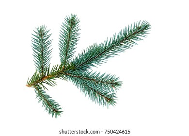 Branch of fir tree on white background.