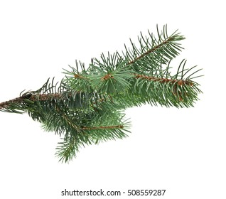 branch of fir-tree is isolated on a white background closeup