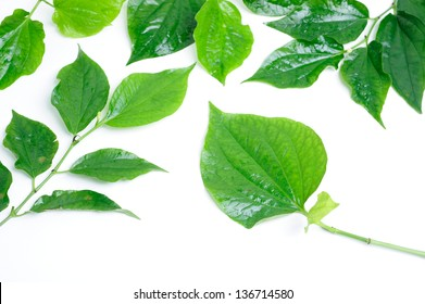 Branch of five wild betal leaves