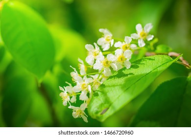 Branch of flowering bird cherry in white flowers on a spring sunny day.