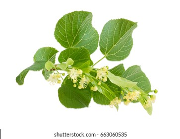Branch of the flowering linden with leaves, flowers and buds on a light background