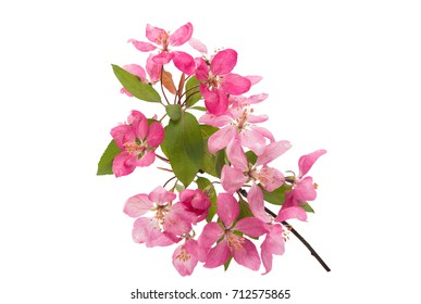 branch with flowers of apple-tree isolated on white background