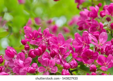 Branch with flowers of an apple-tree of Nedzvetsky (Malus niedzwetzkyana). Close up of crab apple tree blooms on sunny spring morning. Beautiful spring tree pink blossoms background