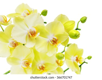 Branch with flowers of yellow and green orchid phalaenopsis, isolated on a white background