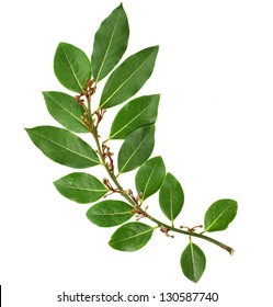 branch of fresh bay laurel leaves isolated on white background