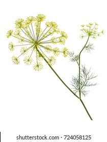 Branch of fresh green dill herb leaves isolated on white background.  Flowering plant dill.